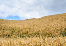 Corn Field on Hill Stock Images