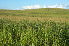 Corn field and hill under blue summer sky with clouds Stock Photos