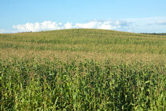 Corn field and hill under blue summer sky with clouds Royalty Free Stock Image