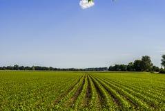 Corn Field. Horizon - bright sky Royalty Free Stock Images