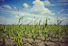 Corn field. Image of a cornfield with clouds, works perfect For agricultural matters Stock Photography