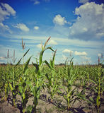 Corn field. Image of a cornfield with clouds, works perfect For agricultural matters Royalty Free Stock Images
