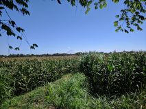 Clear sky under the corn field royalty free stock photo