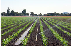 Corn field with irrigation. Small corn plants in straight rows growing out of black soil. Sprinkler irrigation provides ample water Stock Photo