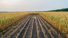Corn Field Is Affected By The Drought Royalty Free Stock Images