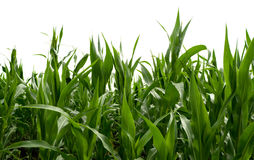 Corn field, isolated Stock Photo