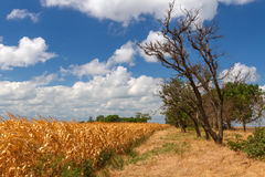 Corn field landscape. Agriculture rural summer landscape with indian corn field, dry trees silhouettes, dry yellow grass and blue sky covered by clouds Stock Photo