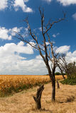 Corn field landscape. Agriculture rural summer landscape with indian corn field, dry trees silhouettes, dry yellow grass and blue sky covered by clouds Stock Photography