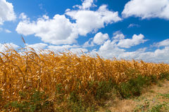 Corn field landscape. Agriculture rural summer landscape with indian corn field, dry yellow grass and blue sky covered by clouds Stock Images