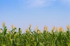 Corn Field. Landscape Scene of corn field Stock Photography