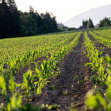 Corn field in late spring Stock Photos