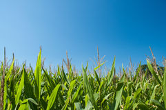 Corn field in late summer against a blue sky in ho. Stalks reach up to a clear blue sky Stock Images