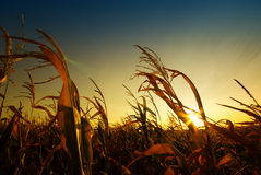 Corn field. Leafs of corn plants in the sunset sunshine Stock Photo