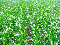 Corn field lines. Green corn in lines on the sun royalty free stock photos