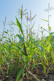 Corn field. Local corn field, ground dry Stock Photography