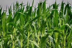 Corn Field. The corn is looking good Stock Photos