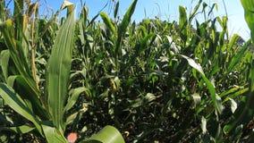 Corn Field 1 stock video footage