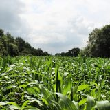 In the corn field Stock Photo