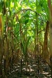 Corn field, maize. Corn field - maize Royalty Free Stock Photo