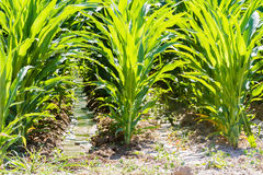 Corn field. In middle of the esason Stock Photography