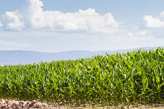 Corn field. In middle of the esason Royalty Free Stock Photo