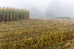 Corn field in morning mist - France Stock Image