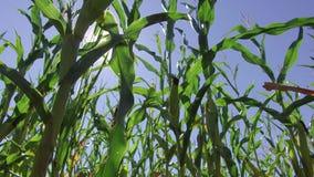 Corn field corn motion farm video steadicam farming. green grass agriculture united states the nature usa corn farm Royalty Free Stock Image