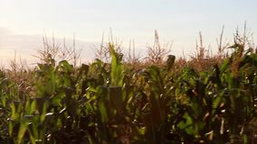 Corn field in motion stock footage