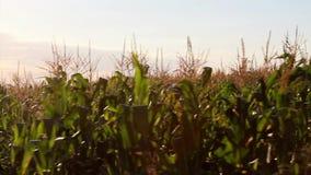 Corn field in motion stock footage