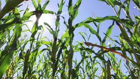 Corn field corn motion video farm steadicam farming. green grass agriculture united states the nature usa corn farm Stock Photography