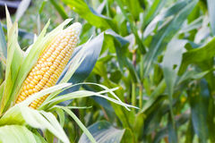 Corn field at mountain Stock Photo