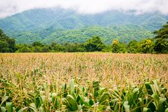 Corn field with mountain on background. corn agriculture. cereal factory process. pre-harvest. royalty free stock images