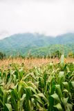 Corn field with mountain on background. corn agriculture. cereal factory process. pre-harvest. royalty free stock photo