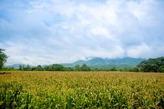 Corn field with mountain on background. corn agriculture. cereal factory process. pre-harvest. royalty free stock photography