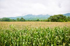 Corn field with mountain on background. Corn farm agriculture with corn tree on field. Food and grain agriculture concept royalty free stock photos