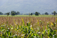 Corn field on the mountain Royalty Free Stock Photography