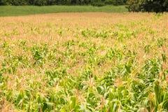 Corn field on the mountain Stock Image