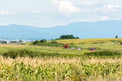 Corn Field , Mountains And Blue Sky Royalty Free Stock Image