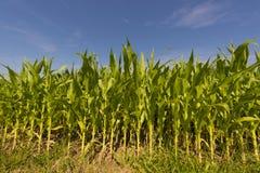 Corn field near Baden Baden , Baden-Wuerttemberg, Germany Royalty Free Stock Photo