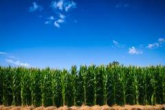 Corn field. A corn field near San Francisco, California Stock Images
