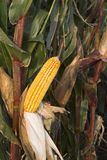 Corn in the field nearing harvest. An ear of corn almost ready for harvest Stock Photography