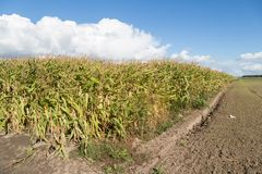 Corn field in the Netherlands. Big Corn field in the Netherlands Royalty Free Stock Photos