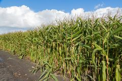 Corn field in the Netherlands. Big Corn field in the Netherlands Stock Image