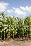 Corn on a field in the netherlands Royalty Free Stock Photos