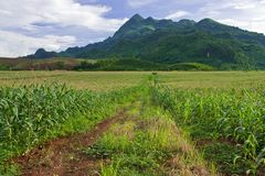 Corn field in north of Thailand Royalty Free Stock Photos