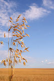 Corn field (oat). Corn field with oat and blue sky stock photo