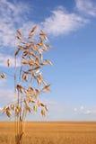 Corn field (oat). Corn field with oat and blue sky Stock Photo