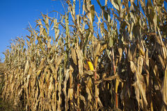 Corn field in October Royalty Free Stock Photos