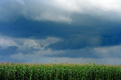 Corn field over storm sky Stock Image