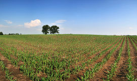Corn field panorama Royalty Free Stock Photo